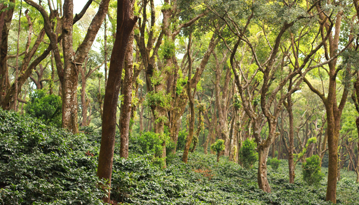A day in the life of a Tata Coffee customer - Mylemony estate
