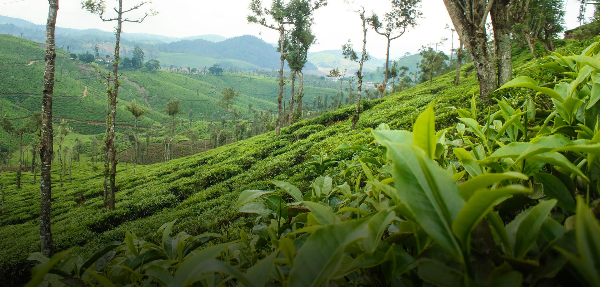 Circled in the mountains, a bowl of tea brews  - Tata Coffee