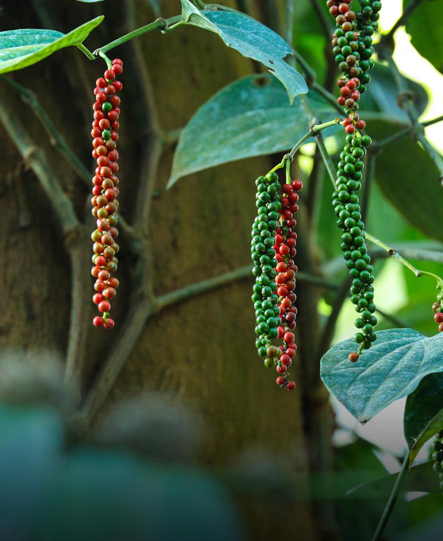 Pepper Harvesting Image - Tata Coffee
