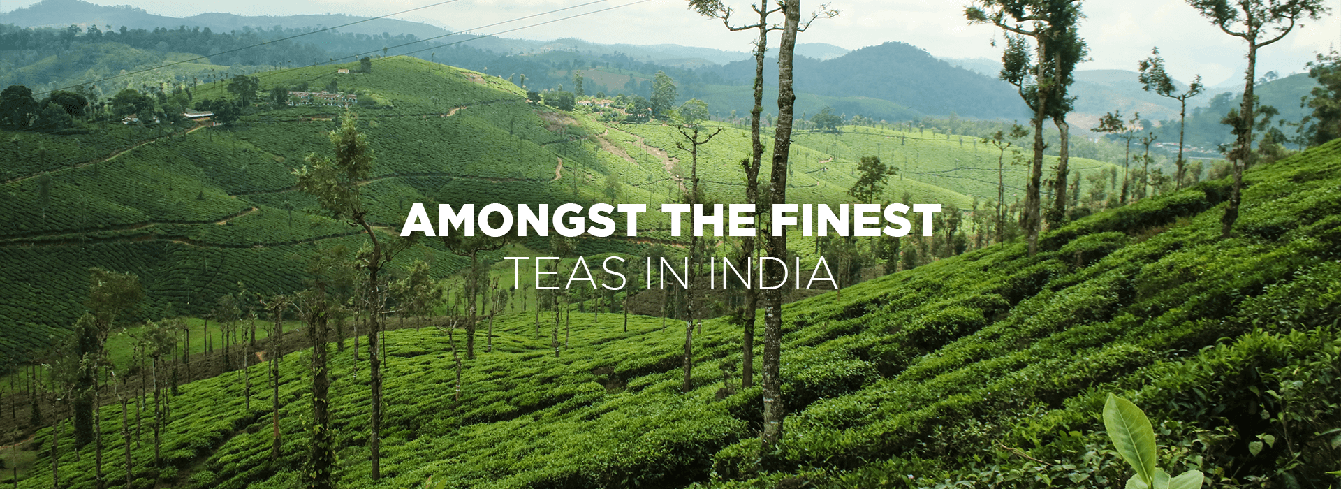 Amongst the finest teas in india